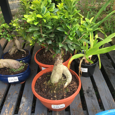 Ficus macrocarpa Compacta 'Ginseng' fat trunk - in Pot (plastic)