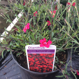 Dianthus deltoids 'Flashing Lights' 1 litre