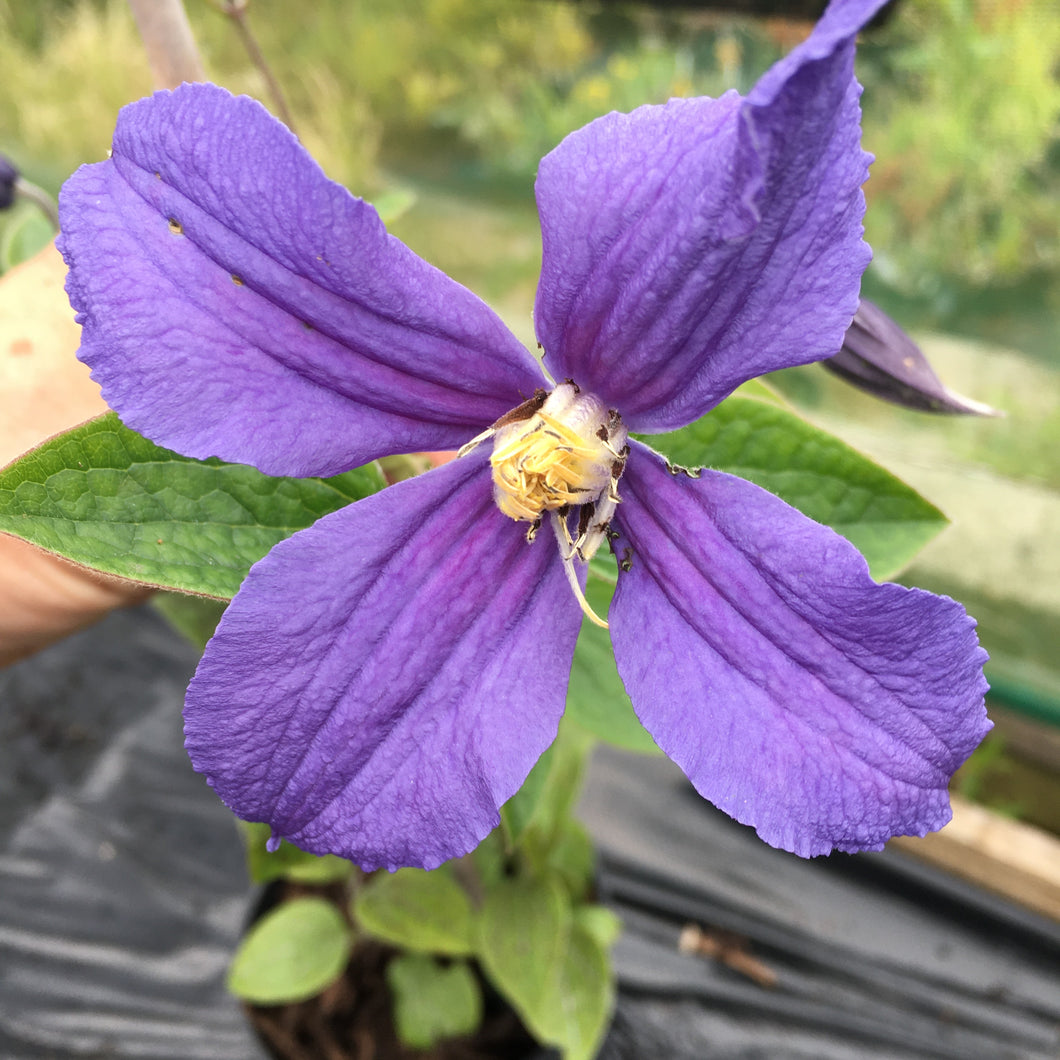 Clematis Durandii Large 2L Climber Plant