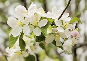 Apple Blossoms Digital Painting