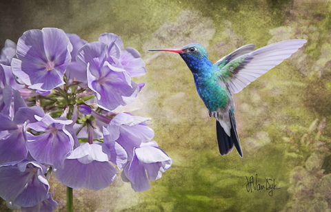 Hummingbird Phlox Digital Painting