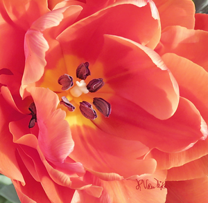 Red Orange Tulip Digital Painting (PD_015)