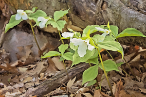 White Trilliums Digital Painting (PD_017)