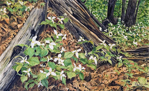 White Trilliums Watercolour painting