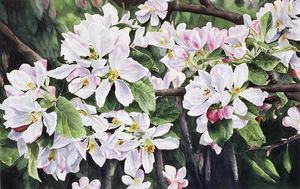 Apple Blossoms Watercolour Painting