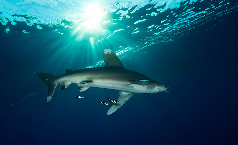 Oceanic White Tip at Brothers