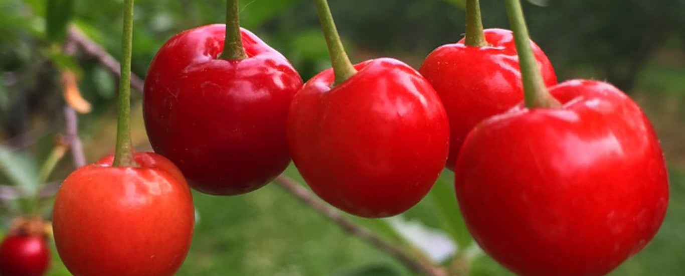 Tart Cherries Are Back