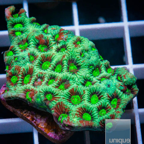 "Micromussa lordhowensis -   Micro Lord - 1"" WYSIWYG Frag"