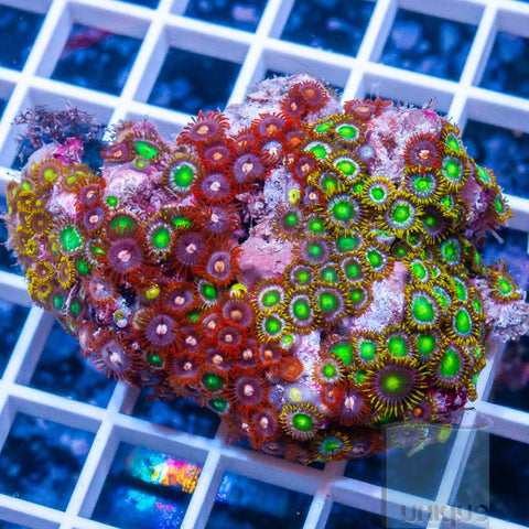 "Zoanthus sp. - Mixed Zoas - 4"" WYSIWYG Colony"