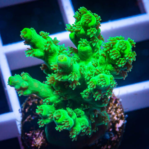 "Acropora chesterfieldensis  - Green Chesterfield Acro -  3/4"" WYSIWYG Frag"