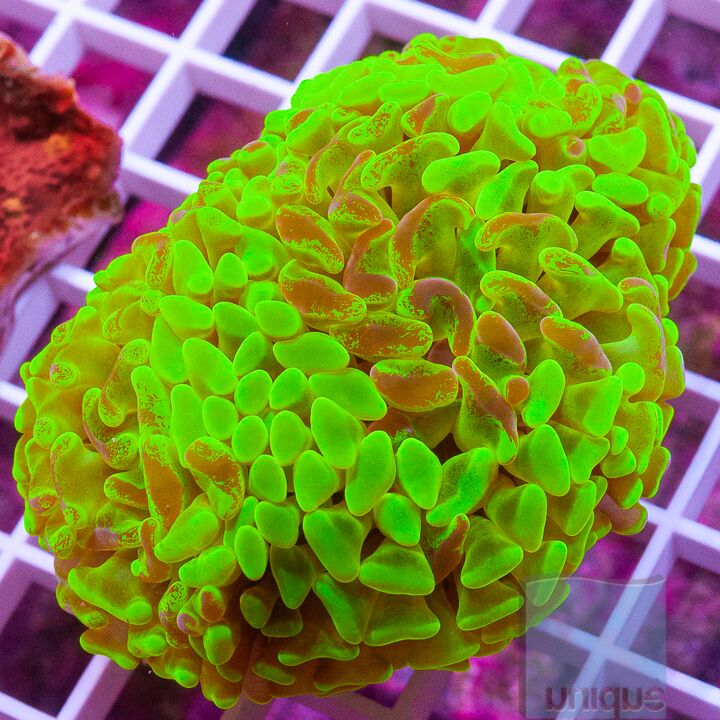 "Euphyllia ancora  -  Neon Highlighter Hammer Coral - 3"" WYSIWYG Colony"