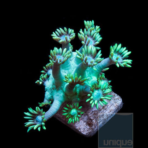 "Goniopora sp - Bright Green Goniopora - 1"" Stock Frag"
