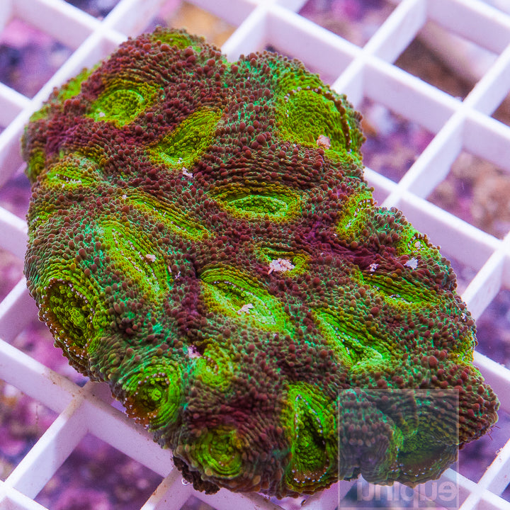 "Favia sp.  - Colorful Favia - 1.5"" WYSIWYG Frag"
