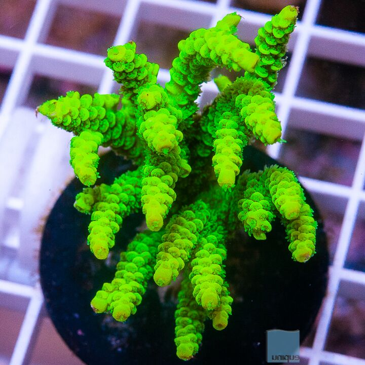 "Acropora tenuis - Tenuis with Potential Acro - 3"" WYSIWYG Colony"