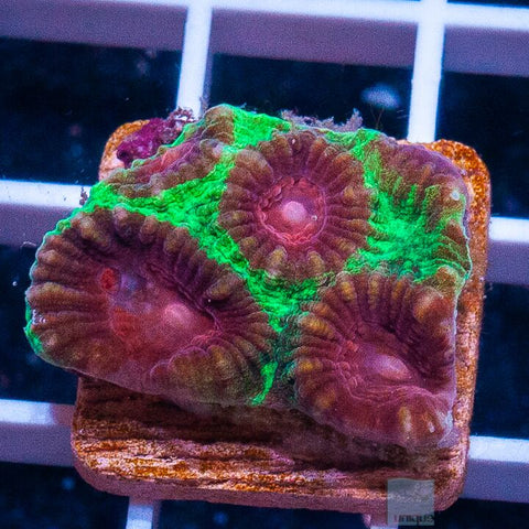 "Favia sp  -  Purple Center Favia - 1"" Stock Frag"