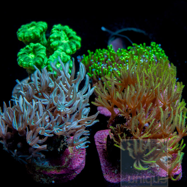 "Misc. sp.- Assorted ""Beginner"" Frag Pack - 4 Different Stock Frags!"