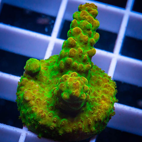 "Acropora sp.  - TGC Orange Creamsicle Acro -  3/4"" WYSIWYG Frag"