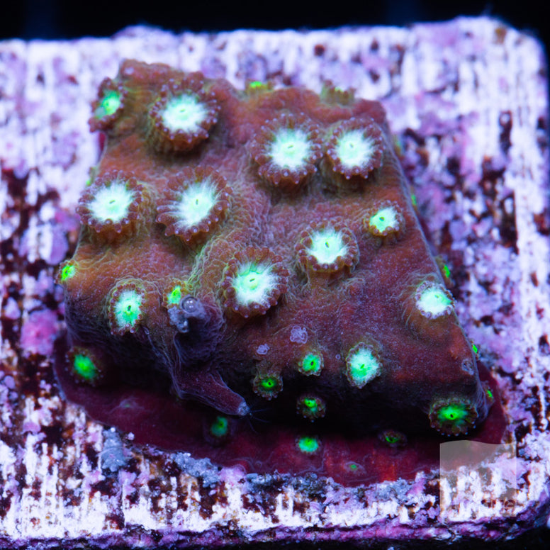 "Cyphastrea sp -   Ultra Cyphastrea -  1"" WYSIWYG Frag"
