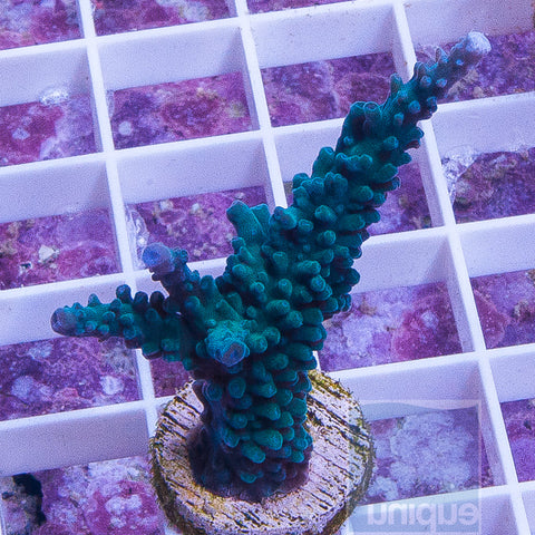 "Acropora sp. -UC Teal Stag.  1.5""-2"" Stock Frag"