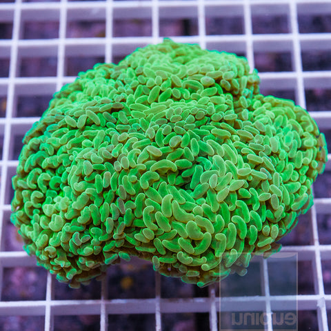 "Euphyllia ancora  -  Colorful Hammer Coral - 3.5"" WYSIWYG Colony"