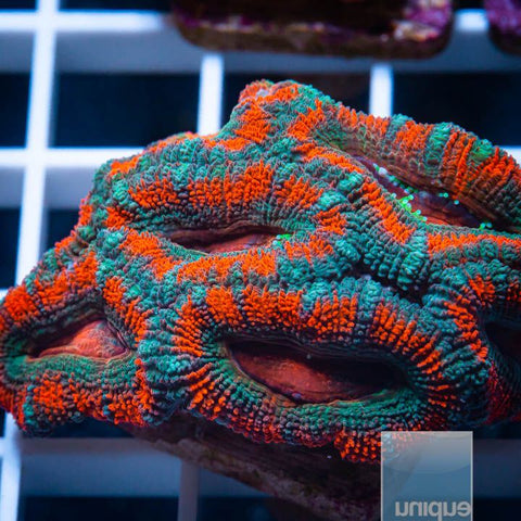 "Micromussa lordhowensis -   Poison Ivy Micro Lord - 1"" WYSIWYG Frag"