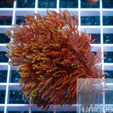 "Clavularia sp. -   Long Tentacle Clove Polyps - 2"" WYSIWYG Large Frag"