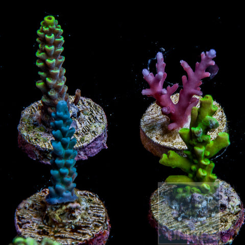 """SPS"" Frag Pack - 4 Different Stock Frags (non-WYSIWYG)"