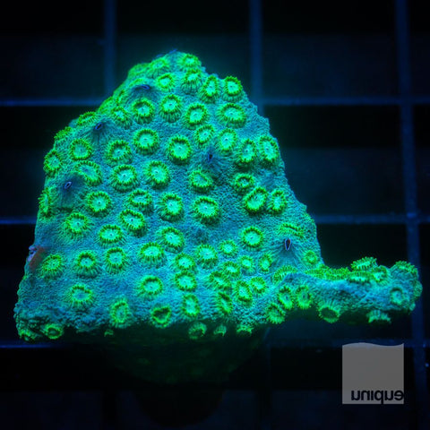 "Cyphastrea sp -  Cyphastrea -  1"" WYSIWYG Frag"