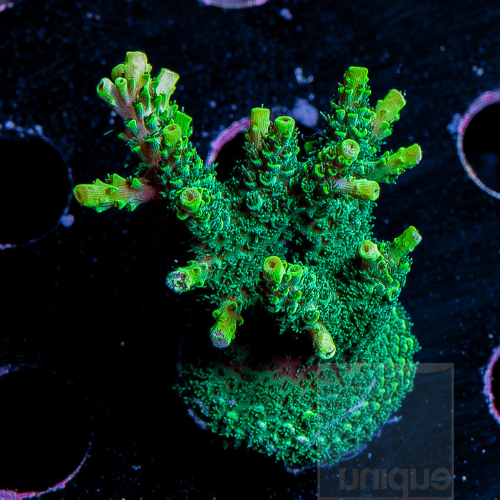 "Acropora sp.- ORA ""Green Planet Acro"" - Approx. 2"" Stock Frag"