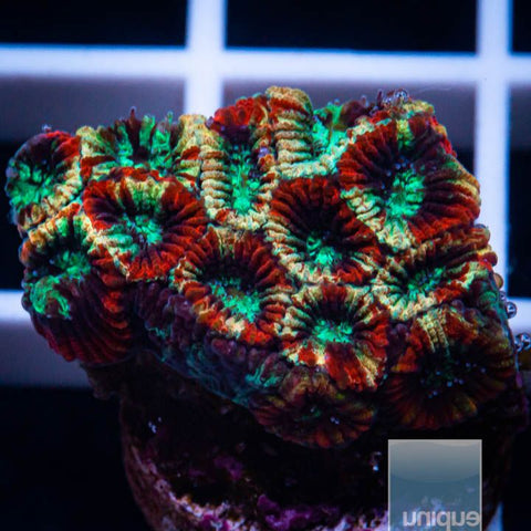 "Micromussa lordhowensis -    Fireworks Micro Lord - 3/4"" WYSIWYG Frag"