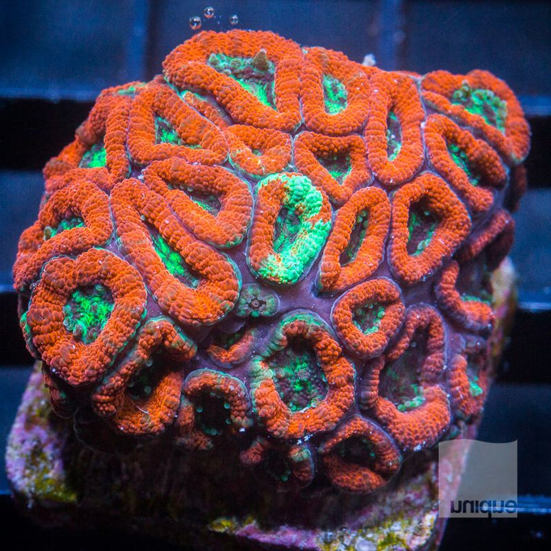 "Micromussa lordhowensis - Micro Lord with Potential - 1"" WYSIWYG Frag"