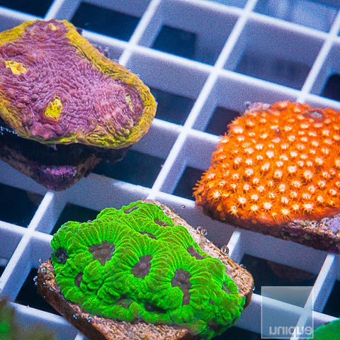 3 Piece LPS Frag Pack -  3 Different WYSIWYG Frags