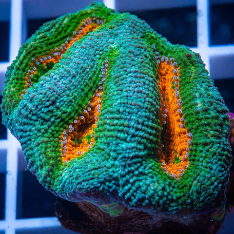 "Micromussa lordhowensis -  Pastel Micro Lord -  1"" WYSIWYG Frag"