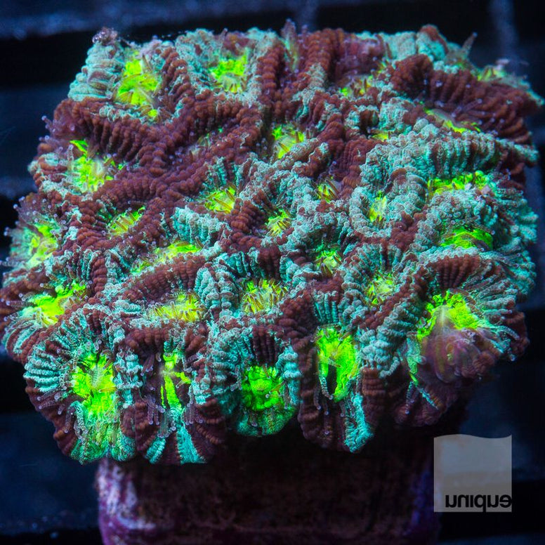 Micromussa lordhowensis -    Trinity Micro Lord -  WYSIWYG Frag