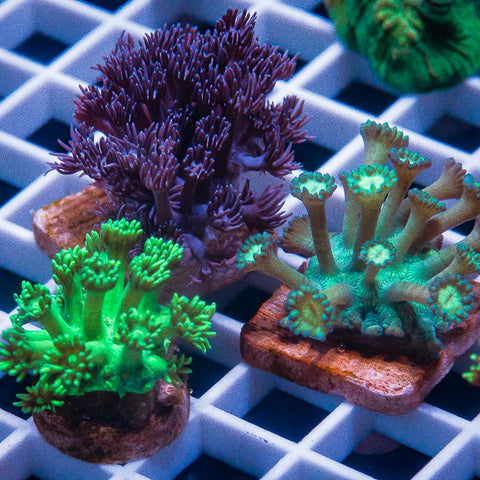 3 Piece Goni Frag Pack - 3 Different WYSIWYG Frags