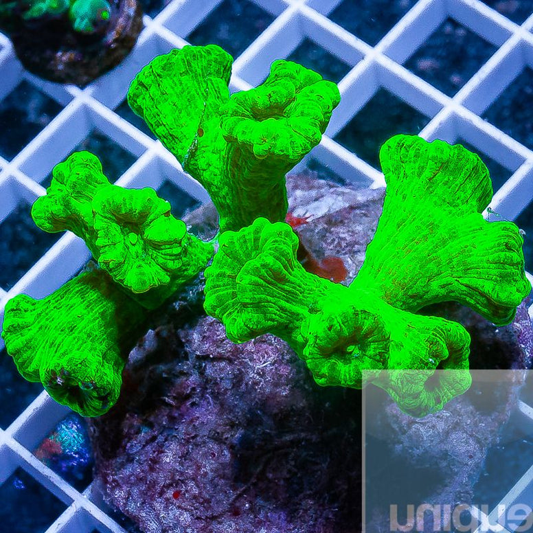 "Caulustrea furcata - Kryptonite Candy Cane Coral -  3"" Stock Colony"