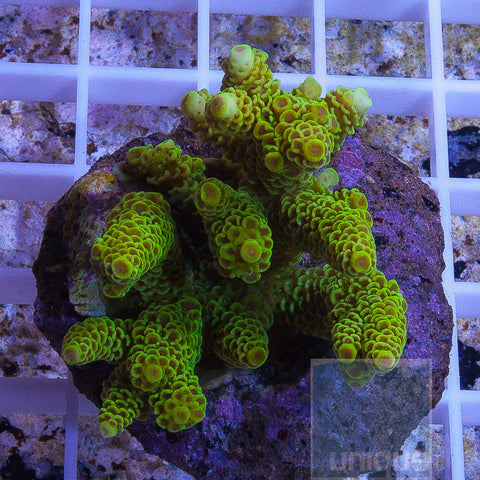 Acropora sp - 4 Piece Stock Maricultured Combo Pack- We pick You save!