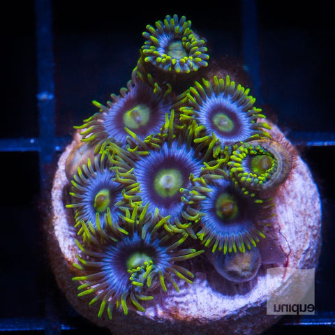 Zoanthus sp.  -  UC Cookie Monster Zoanthids -  WYSIWYG Frag