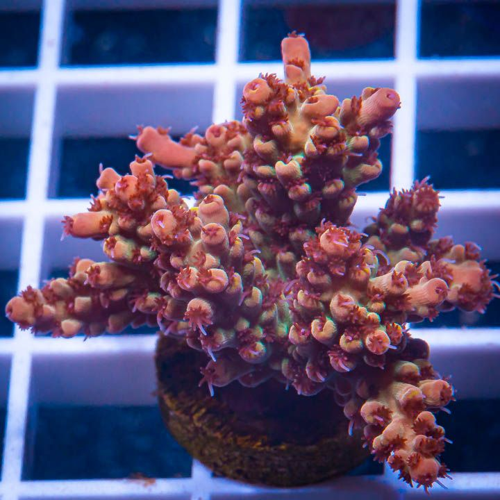 "Acropora sp.  -   Acro  with Potential  -  1"" WYSIWYG Frag"