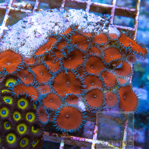 Protopalythoa sp. - Rare Red Death Protopalys - 3-4 polyps Stock Frag