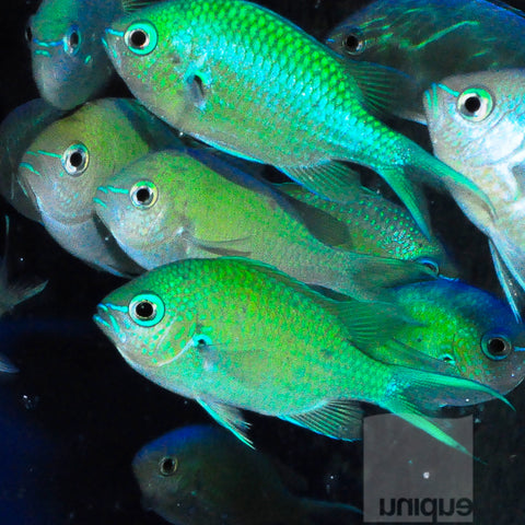 Chromis viridis - Blue-Green Reef Chromis - Net Caught- Approx. 1""