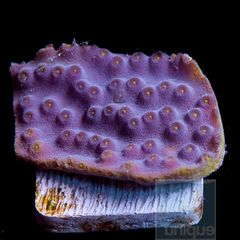 "Turbinaria sp- Lakers Scroll Turbinaria 1"" Stock Frag"