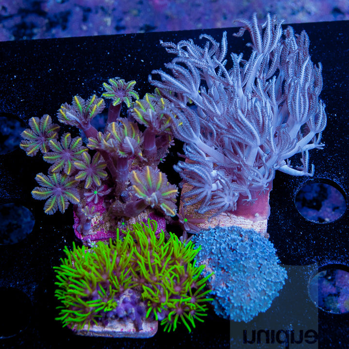 """Softy/Zoa/Paly""  4 Piece Assorted Frag Pack (non-WYSIWYG)"