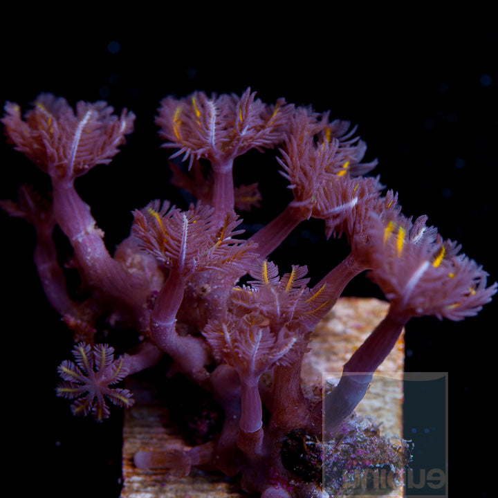 "Pachyclavularia sp.- Orange Clove Polyps - 1.5"" Stock Frag"