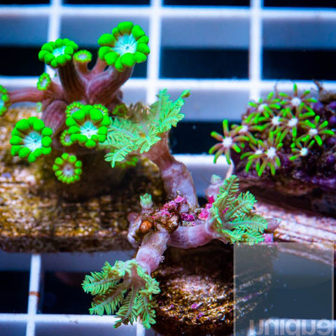 3 Piece Mix Frag Pack  - 3 Different WYSIWYG Frags
