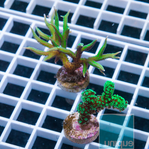 2 Piece SPS Combo Rainbow Birdsnest/Green Stylo- 2 Different WYSIWYG Frags