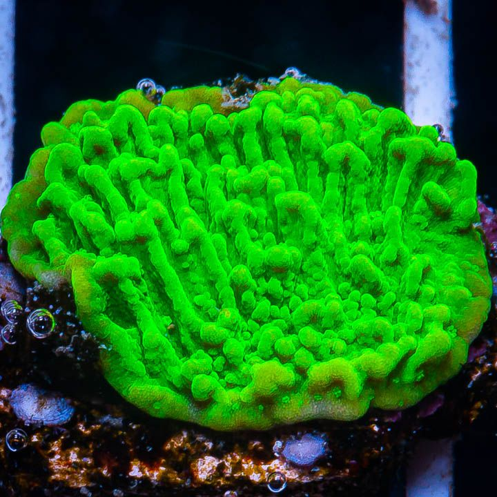 "Montipora sp. -  Electric Melon Monti -  3/4"" WYSIWYG Frag"