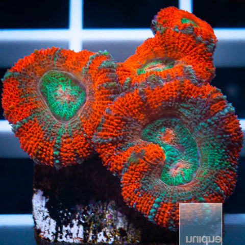 "Micromussa lordhowensis -   Poison Ivy Micro Lord - 3/4"" WYSIWYG Frag"