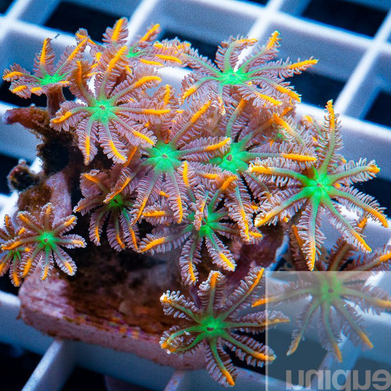 "Clavularia sp. -   Papaya Clove Polyps -  1"" Stock Frag"