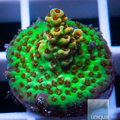 "Acropora sp.  -   Acro  With Potential -  3/4"" WYSIWYG Frag"
